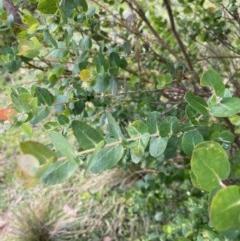 Eucalyptus crenulata at Mongarlowe River - 21 Jun 2020