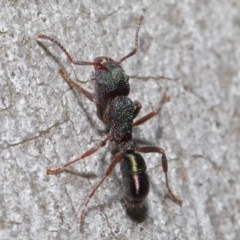 Rhytidoponera metallica (Greenhead ant) at ANBG - 9 Jun 2020 by TimL