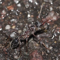 Myrmecia pyriformis (A Bull ant) at ANBG - 21 Jun 2020 by TimL