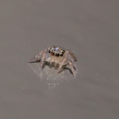 Prostheclina sp (genus) (A jumping spider) at ANBG - 14 Jun 2020 by TimL
