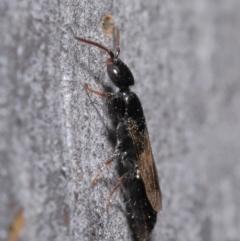 Bethylidae sp. (family) at ANBG - 9 Jun 2020