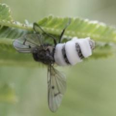 Entomophthora sp. (genus) (Puppeteer Fungus) at Dunlop, ACT - 16 Jun 2020 by Alison Milton