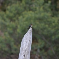 Hirundo neoxena (Welcome Swallow) at Tidbinbilla Nature Reserve - 22 Jun 2020 by Bernadette