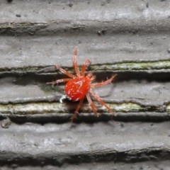 Anystidae (family) (Unidentified anystid mite) at ANBG - 21 Jun 2020 by TimL