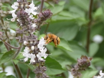 Amegilla (Asaropoda) sp. (Teddy Bear Bee) at WI Private Property - 3 Apr 2020 by wendie