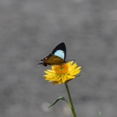 Unidentified Butterfly (TBC) at WI Private Property - 27 Apr 2020 by wendie