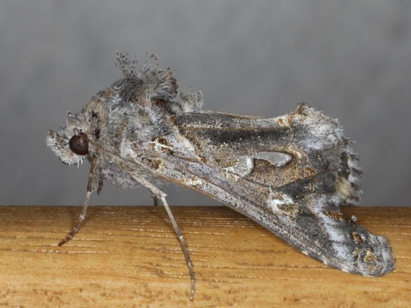 Chrysodeixis argentifera at Ainslie, ACT - 16 Jun 2020