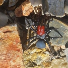 Missulena occatoria (Red-headed Mouse Spider) at Rugosa at Yass River - 20 Jun 2020 by SenexRugosus