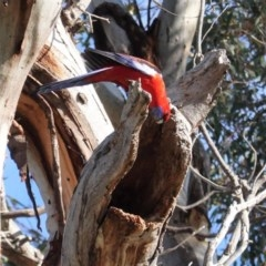 Platycercus elegans (Crimson Rosella) at Hughes Grassy Woodland - 19 Jun 2020 by JackyF