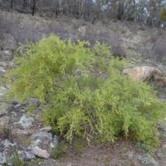 Acacia cardiophylla (Wyalong Wattle) at Mount Taylor - 17 Jun 2020 by Mike