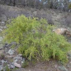 Acacia cardiophylla (Wyalong Wattle) at Kambah, ACT - 17 Jun 2020 by Mike