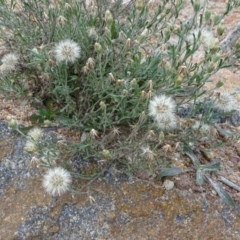 Vittadinia cuneata var. cuneata (Fuzzy New Holland Daisy) at Mount Taylor - 17 Jun 2020 by Mike