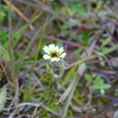 Tolpis barbata (Yellow Hawkweed) at Mount Taylor - 17 Jun 2020 by Mike