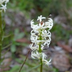 Stackhousia monogyna (Creamy Candles) at Mount Taylor - 17 Jun 2020 by Mike