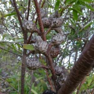 Hakea salicifolia at Mount Taylor - 17 Jun 2020