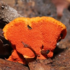 Pycnoporus coccineus at ANBG - 21 Jun 2020
