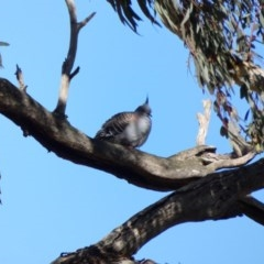 Ocyphaps lophotes (Crested Pigeon) at Goorooyarroo - 17 Jun 2020 by TomT
