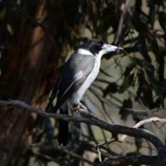 Cracticus torquatus (Grey Butcherbird) at Goorooyarroo - 17 Jun 2020 by TomT
