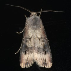 Agrotis ipsilon (Black Cutworm) at Ainslie, ACT - 22 Jun 2020 by jbromilow50