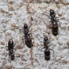 Technomyrmex sp. (genus) at ANBG - 19 Jun 2020 by TimL