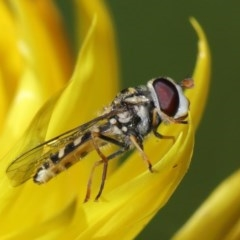 Syrphini sp. (tribe) (Unidentified syrphine hover fly) at ANBG - 19 Jun 2020 by TimL