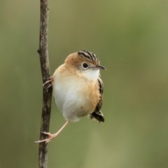 Cisticola exilis (Golden-headed Cisticola) at Jerrabomberra Wetlands - 22 Jun 2020 by Roger
