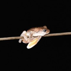 Litoria peronii (Peron's Tree Frog) at WI Private Property - 17 Feb 2020 by wendie
