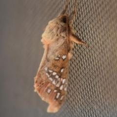 Oxycanus sp. (genus) (TBC) at WI Private Property - 16 Jun 2020 by wendie