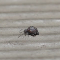 Symphypleona sp. (order) (Globular springtail) at ANBG - 24 Jun 2020 by TimL