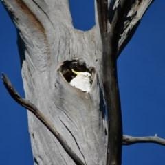Cacatua galerita (Sulphur-crested Cockatoo) at Tidbinbilla Nature Reserve - 25 Jun 2020 by Bernadette