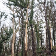 Tree hollows at Mogo State Forest - 17 Jun 2020 by nickhopkins