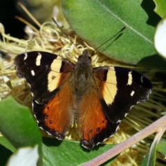 Vanessa itea (Yellow Admiral) at ANBG - 25 Jun 2020 by dimageau