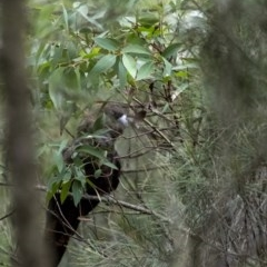 Calyptorhynchus lathami (Glossy Black-Cockatoo) at Wingello - 25 Jun 2020 by Aussiegall