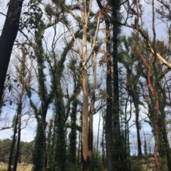Tree hollows at Mogo State Forest - 23 Jun 2020 by nickhopkins