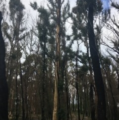 Tree hollows at Mogo State Forest - 24 Jun 2020 by nickhopkins
