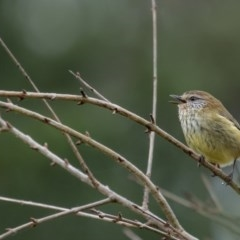 Acanthiza lineata (Striated Thornbill) at Penrose, NSW - 24 Jun 2020 by Aussiegall