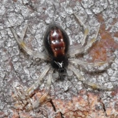 Euryopis sp. (genus) (An ant eating spider) at ANBG - 24 Jun 2020 by TimL