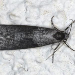 Lepidoscia (genus) at Ainslie, ACT - 25 Jun 2020