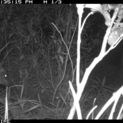 Wallabia bicolor (Swamp Wallaby) at Swanhaven, NSW - 18 Jun 2020 by simon.slater