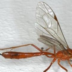 Netelia sp. (genus) at Ainslie, ACT - 12 Jan 2020