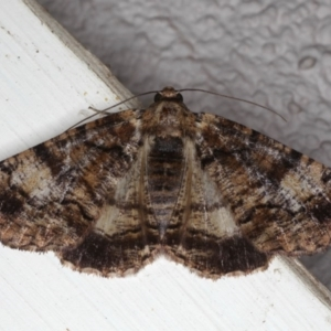 Cryphaea xylina at Ainslie, ACT - 12 Jan 2020