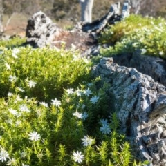 Stellaria pungens (Prickly Starwort) at Goorooyarroo - 26 Jun 2020 by Kerri-Ann