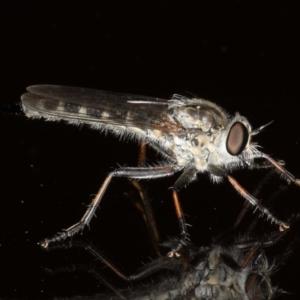 Cerdistus sp. (genus) at Ainslie, ACT - 12 Jan 2020