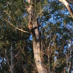 Tree hollows at Batemans Marine Park - 27 Jun 2020 by nickhopkins