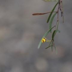 Daviesia mimosoides subsp. mimosoides at Wamboin, NSW - 20 Apr 2020 by natureguy