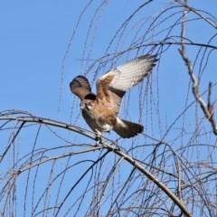 Falco berigora (Brown Falcon) at Fyshwick, ACT - 26 Jun 2020 by RodDeb