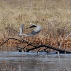 Egretta novaehollandiae (White-faced Heron) at Jerrabomberra Wetlands - 26 Jun 2020 by RodDeb