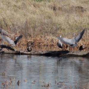 Egretta novaehollandiae at Jerrabomberra Wetlands - 26 Jun 2020