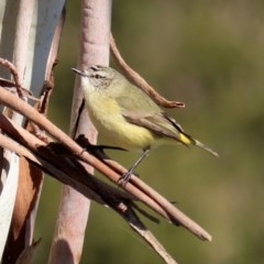 Acanthiza chrysorrhoa (Yellow-rumped Thornbill) at Jerrabomberra Wetlands - 26 Jun 2020 by RodDeb