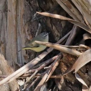 Acanthiza chrysorrhoa at Jerrabomberra Wetlands - 26 Jun 2020